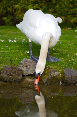 a photo of a pretty swan drinking water photo