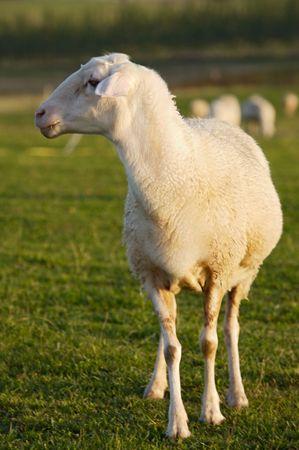 ewe: ewe  in the field in freedom