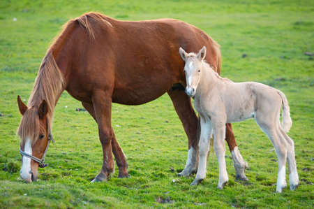 adorable  horse with its mother eating green grass Stock Photo - 787867