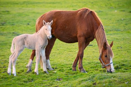 adorable  horse with its mother eating green grass Stock Photo - 803450