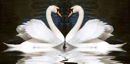 Two swan mirrored looks like a heart  photo