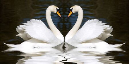 everlasting: Two swan mirrored looks like a heart  Stock Photo