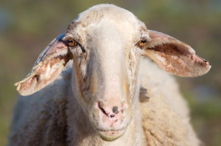 Portrait of sheep funny in the field Stock Photo - 2549504