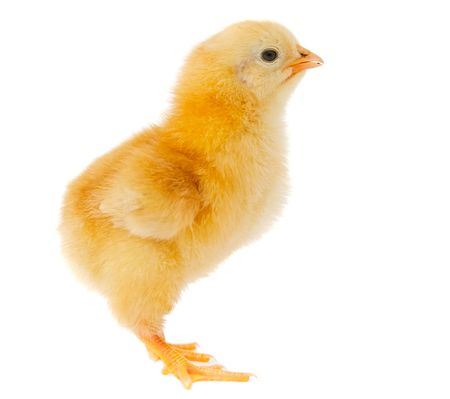 One small chicken a over white background Stock Photo - 2549503