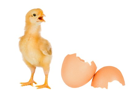 Chicken yellow with broken eggshells on a white background photo