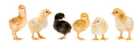 Five yellow chicks and one chick black on white background Stock Photo