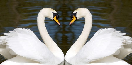 Two beautiful swans with looks like a heart photo