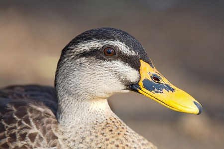 Photo of Beautiful duck with yellow beak Stock Photo - 4333427