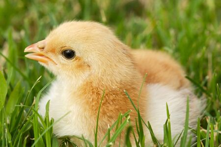 Adorable and little chick on the green grass photo