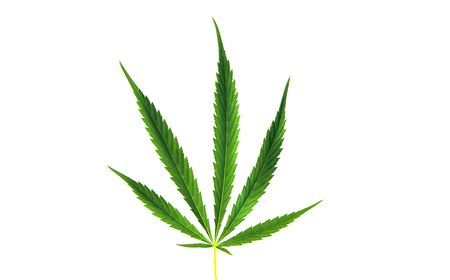 Green leaf of marijuana isolated on the white photo