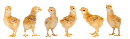 Adorable chicks a over white background photo