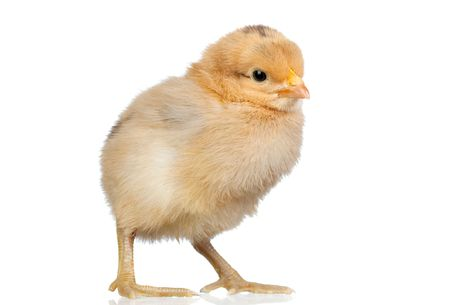 Little yellow chicken isolated on white background Stock Photo - 6402970
