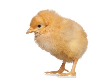 Little yellow chicken isolated on white background photo