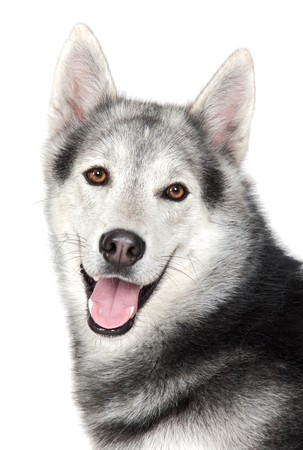 pure blooded: Adorable dog a over white back ground Stock Photo