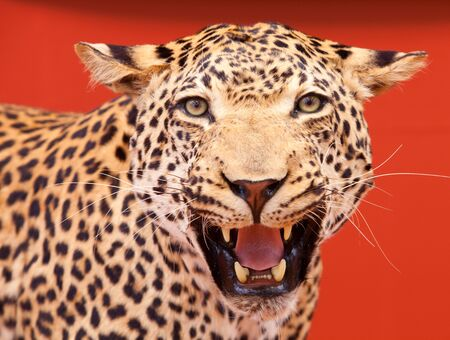 Nice portrait of a leopard stuffed with red background photo