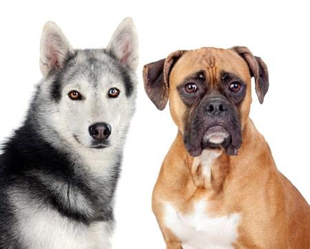 perro boxer: Dos perros de razas diferentes aisladas en un fondo blanco  Foto de archivo
