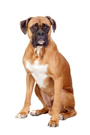 dog ears: Boxer breed dog isolated on white background Stock Photo