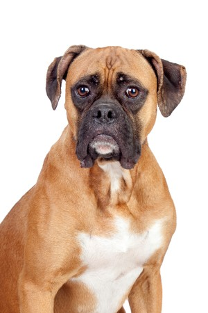 Boxer breed dog isolated on white background photo