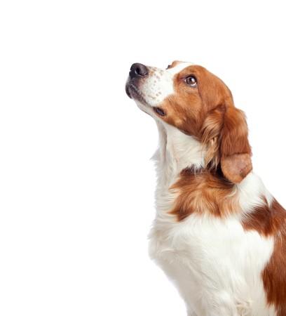 obedience: Perro de caza agradable aislado sobre fondo blanco