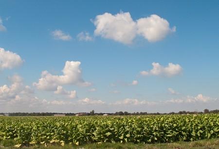 tabaco: Plantaci�n de tabaco con un bonito cielo azul  Foto de archivo