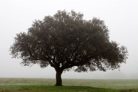 Large lone tree surrounded by fog photo