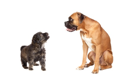 Two dogs of different breeds isolated on a white background photo
