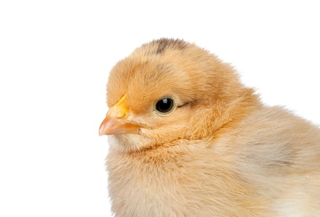 Little yellow chicken isolated on white background Stock Photo - 8821857