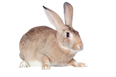 Nice brown bunny isolated on white side photo