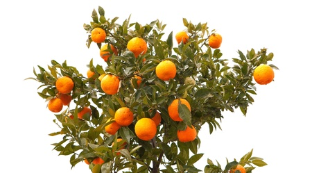 tree farming: Beautiful tree filled with mandarin fruit isolated on white background Stock Photo
