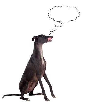 licking: Greyhound breed dog thinking isolated on white background Stock Photo
