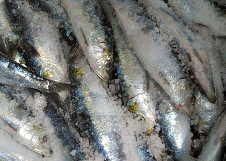 Photo of brought fresh sardines sea recently                                photo