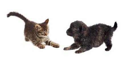 kampfhund: Welpen und K�tzchen Spielen auf wei�em Hintergrund