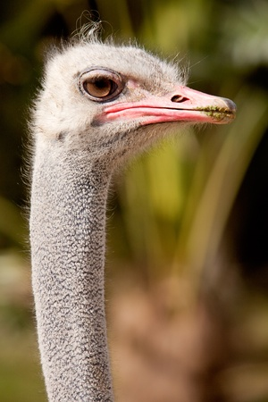 Closeup of the head and neck of an ostrich outdoors Stock Photo - 12866305