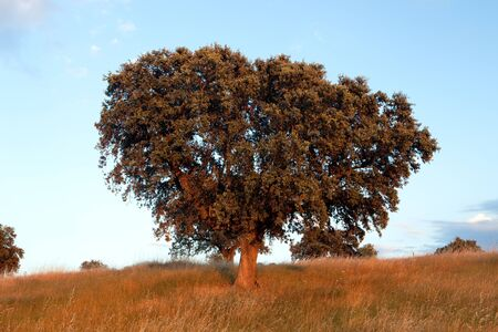Large lone tree surrounded by blue sky photo
