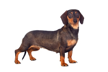Funny dog teckel isolated on white background Stock Photo