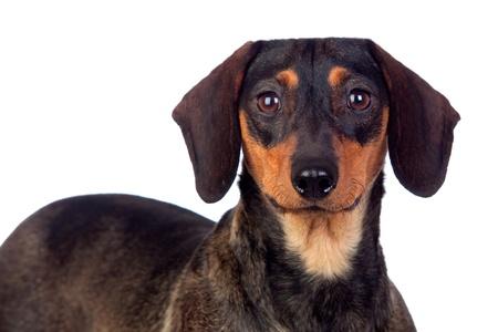 Beautiful dog teckel isolated on white background photo