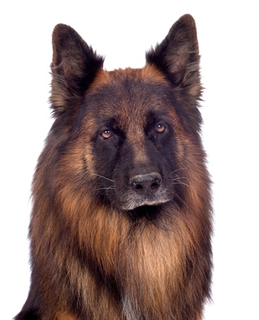 Beautiful alsatian isolated on white background photo
