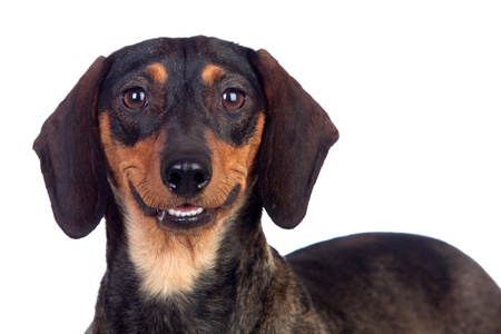 brown and black dog face: Beautiful dog teckel smiling isolated on white background Stock Photo