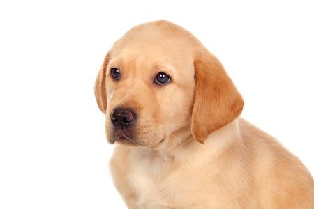 Beautiful Labrador retriever puppy isolated on white background photo