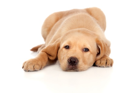 Beautiful Labrador retriever puppy isolated on white background photo
