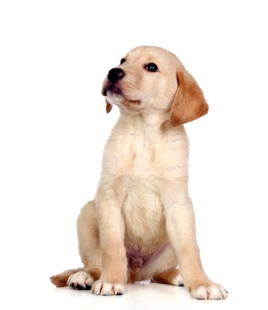 yellow yellow lab: Beautiful Labrador retriever puppy isolated on white background