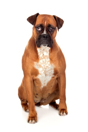 Beautiful Boxer dog isolated on white background photo