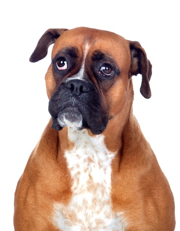 Beautiful Boxer dog isolated on white background Stock Photo - 14583777