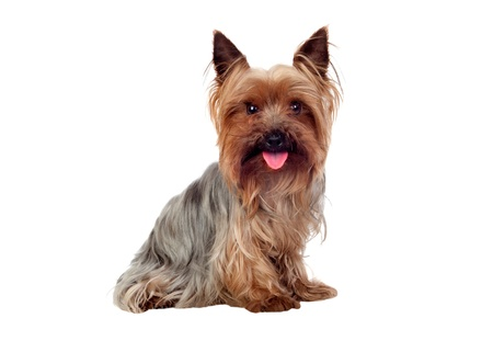 yorkie: Beautiful yorkshire with long hair isolated on white background