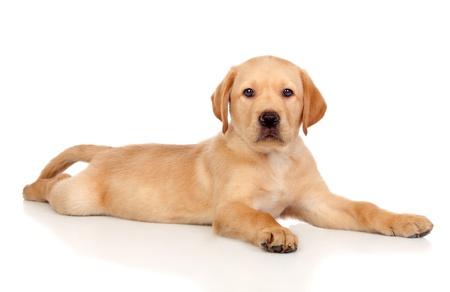 Mooie Labrador retriever pup geïsoleerd op witte achtergrond