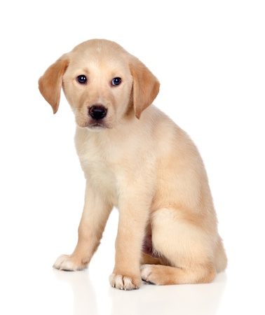 Belle Chiots Labrador retriever isol� sur fond blanc photo
