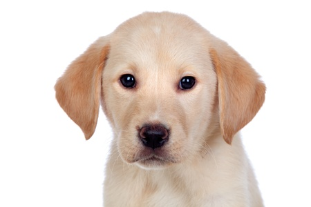 Beautiful Labrador retriever puppy isolated on white background Stock Photo - 15119825