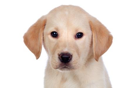 Beautiful Labrador retriever puppy isolated on white background Stock Photo - 15119825