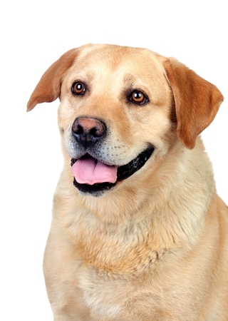 Beautiful Labrador retriever adult isolated on white background photo