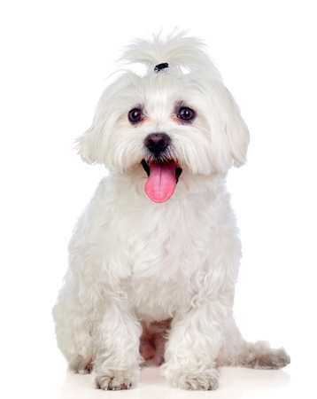 Beautiful white Bichon Maltese isolated on white background photo
